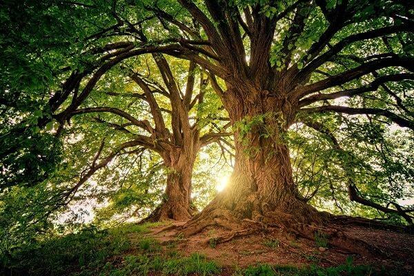 Nama Nama Pohon dalam Bahasa Inggris